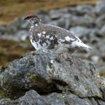 Ptarmigan in the rain. Driesh, 8th May 2014