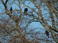 Odd to see such large birds perched in a tree
