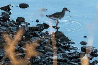 Redshank, I think